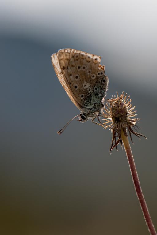 Papillon... Vassieux...