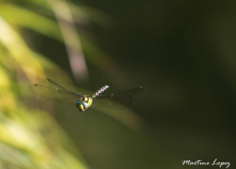 MO-libellules-4481