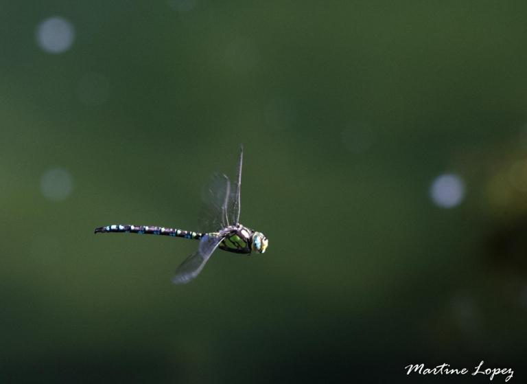 MO-libellules-4488