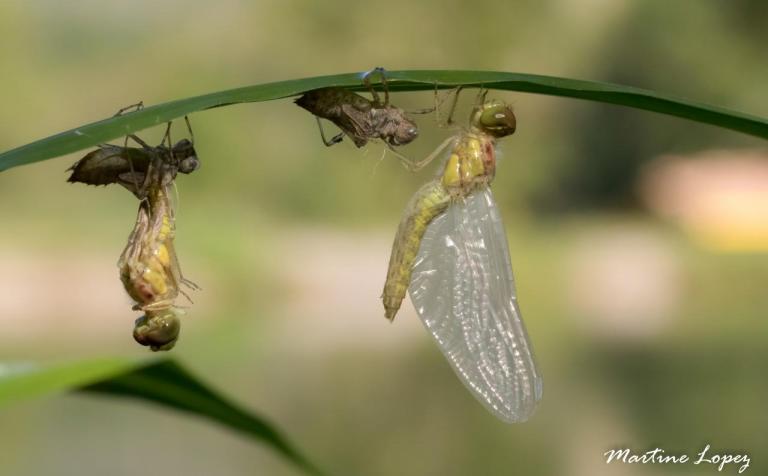 MO-libellules-4525