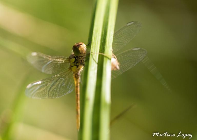 MO-libellules-4539
