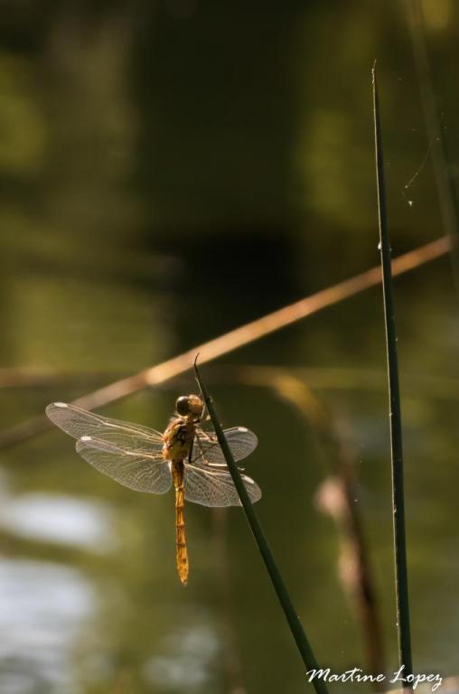 MO-libellules-4545