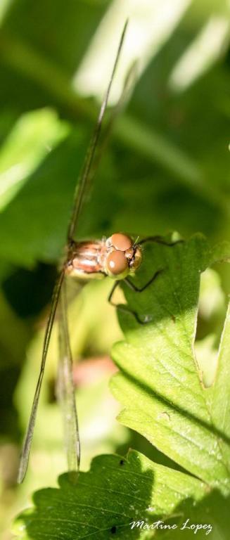 MO-libellules-4571
