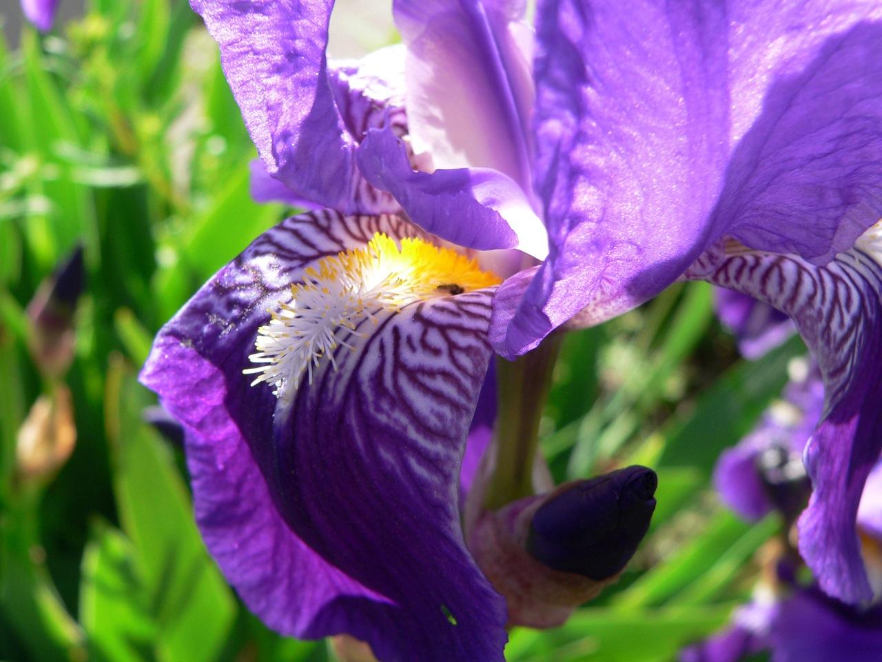 l'iris tire la langue