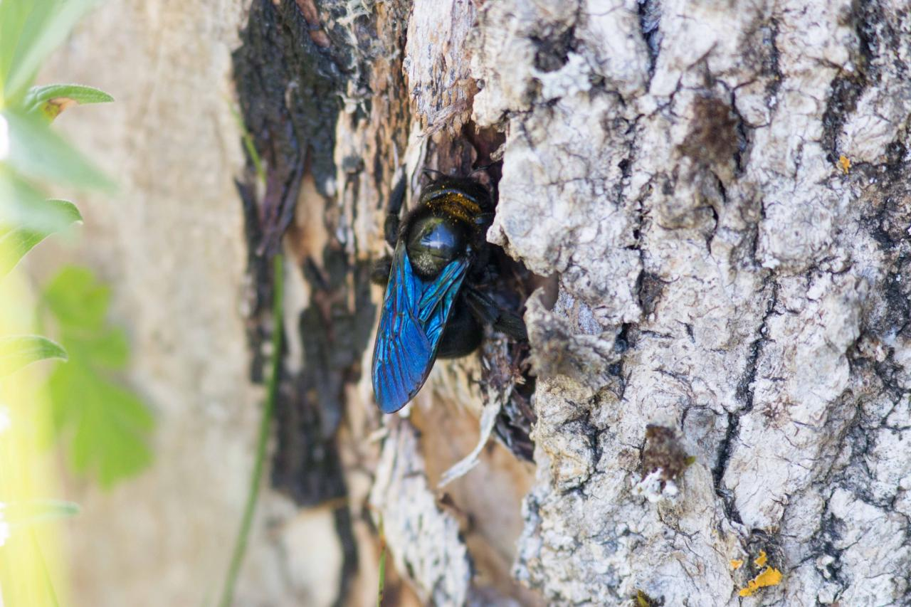 Cape bleue..