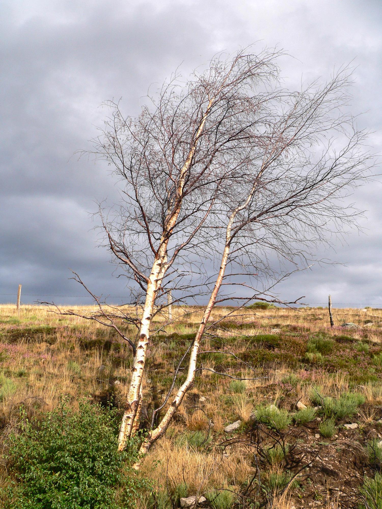 arbres au vent du Mont Lozère