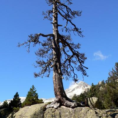 arbre escaladeur
