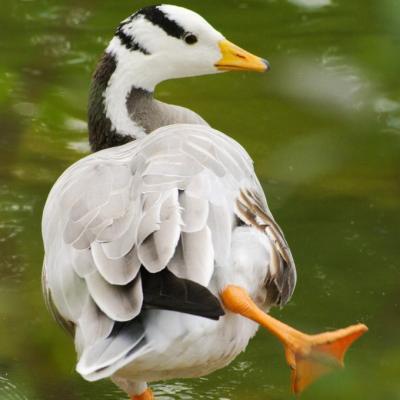 canard équilibriste