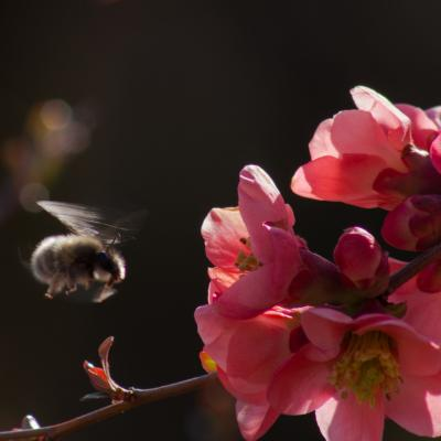 Cognacier du japon butine par une abeille