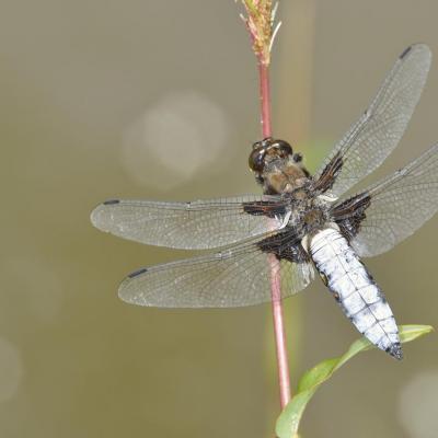 Libelulla depressa, mâle, avec toutes ses couleurs.