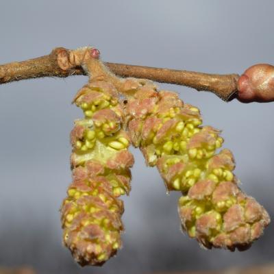 fleur mâle du noisetier
