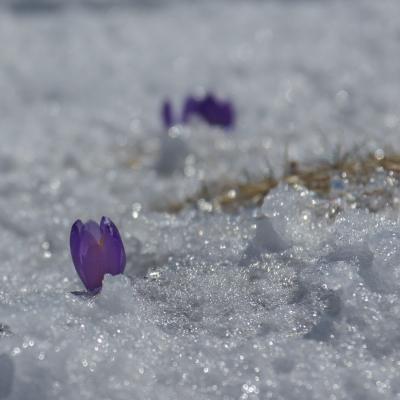 crocus émergeant de la neige