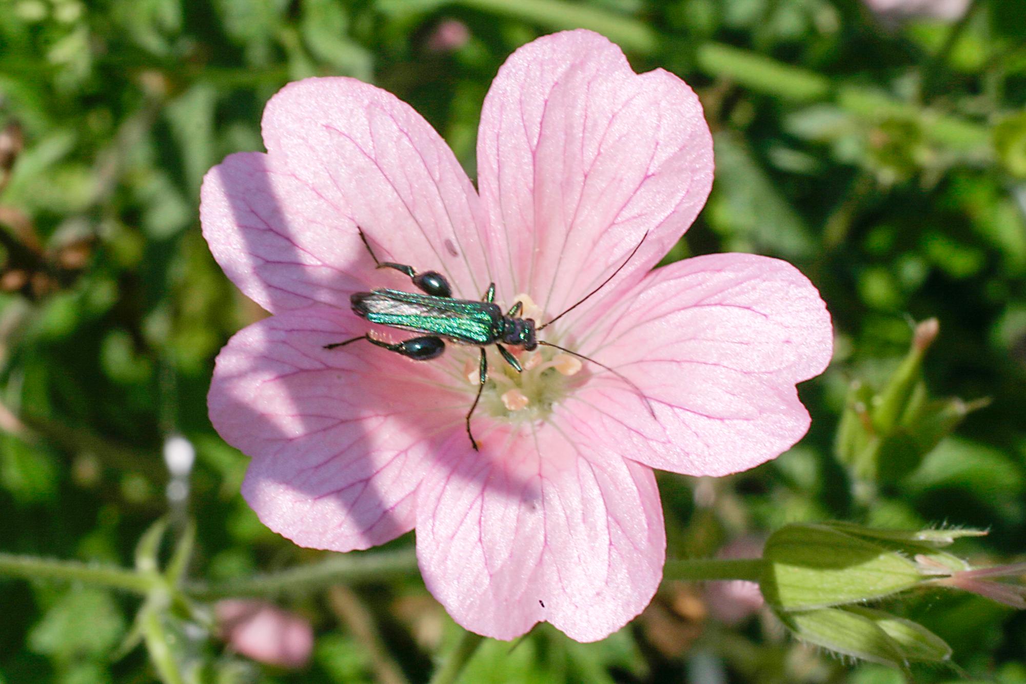 mauve et insecte