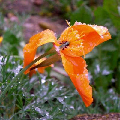 fleur soupoudrée de neige