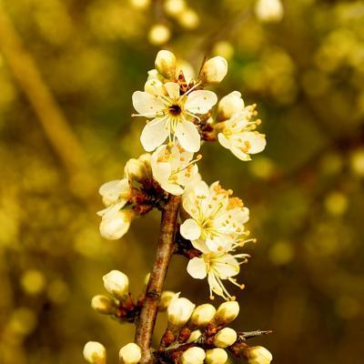 Prunellier en fleures (ça pique !)