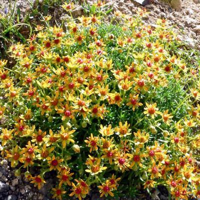 floraison en haut de la queirie