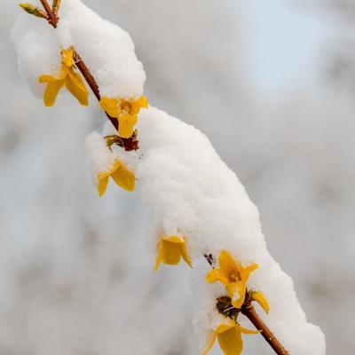 Forsythia sous la neige mars 2020