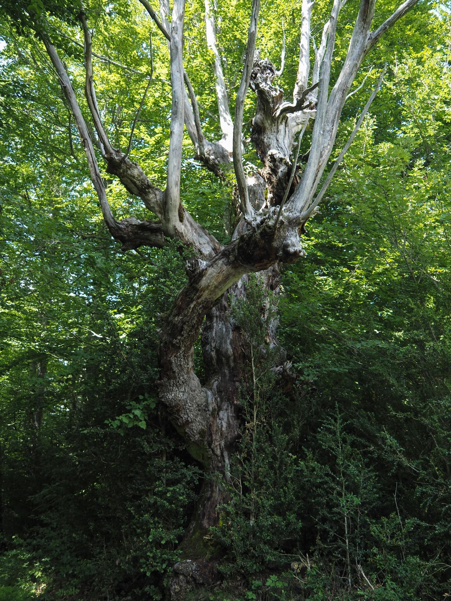 Gh arbre licorne st julien en vercors
