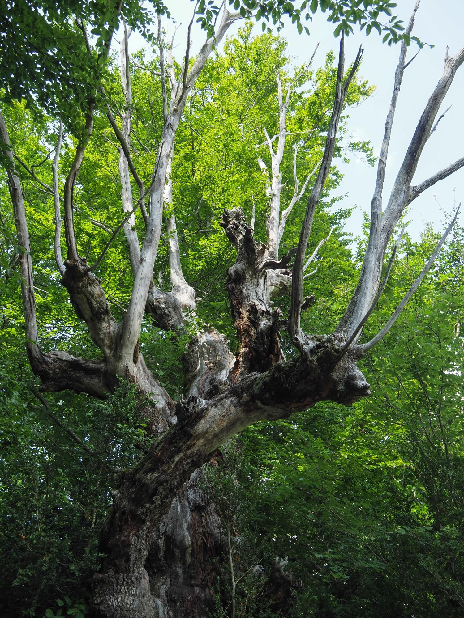 Gh arbre licorne2 st julien en vercors