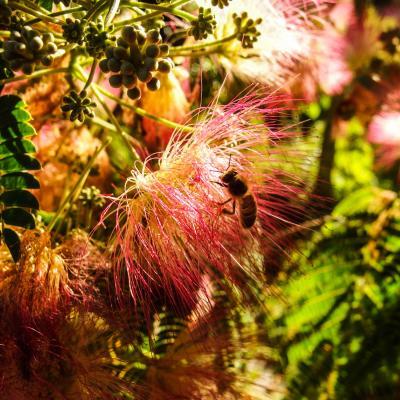 fleur d albizzia