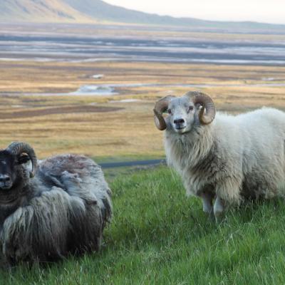 froid moi jamais disent les mouons Islandais