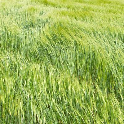 champ de blé sous le vent