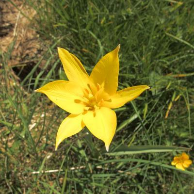 GH Tulipe sauvage