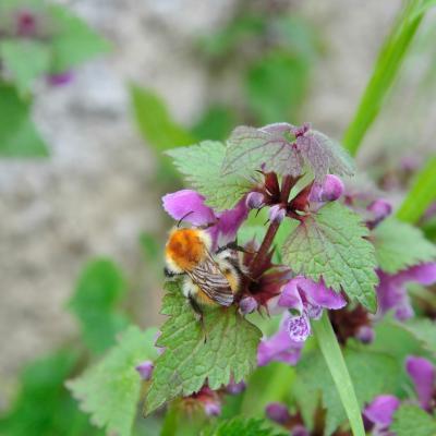 abeille domestique – Apis Mellifera