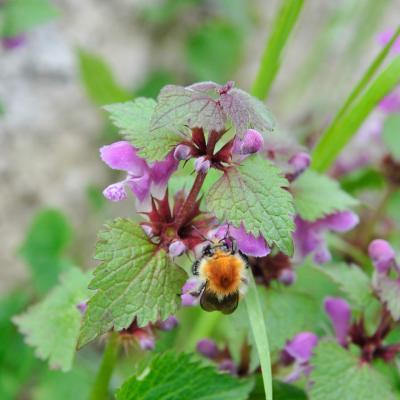 abeille domestique_