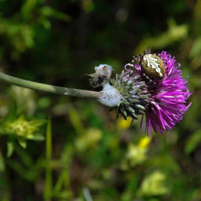 Cirse commun,epeire des bois,larve de c ercope