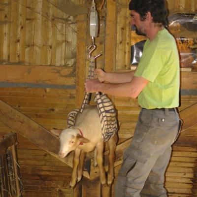 Igor pèse les agneaux-2