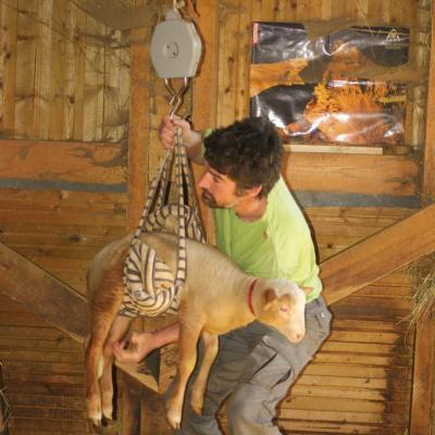 Igor pèse les agneaux-3