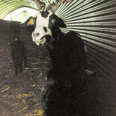 chèvre illuminée