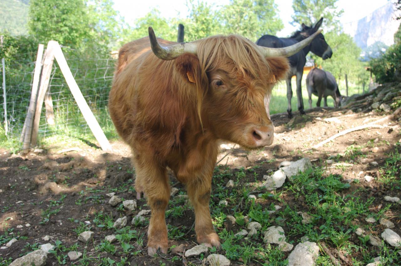 vache des higlands (chez Angélique Doucet)
