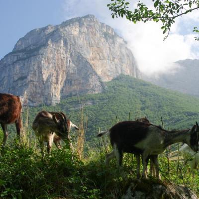 chèvres de savoie (chez Angélique Doucet)