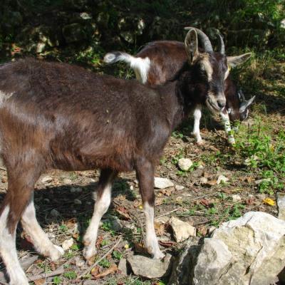 chèvre de Savoie (chez Angélique Doucet)