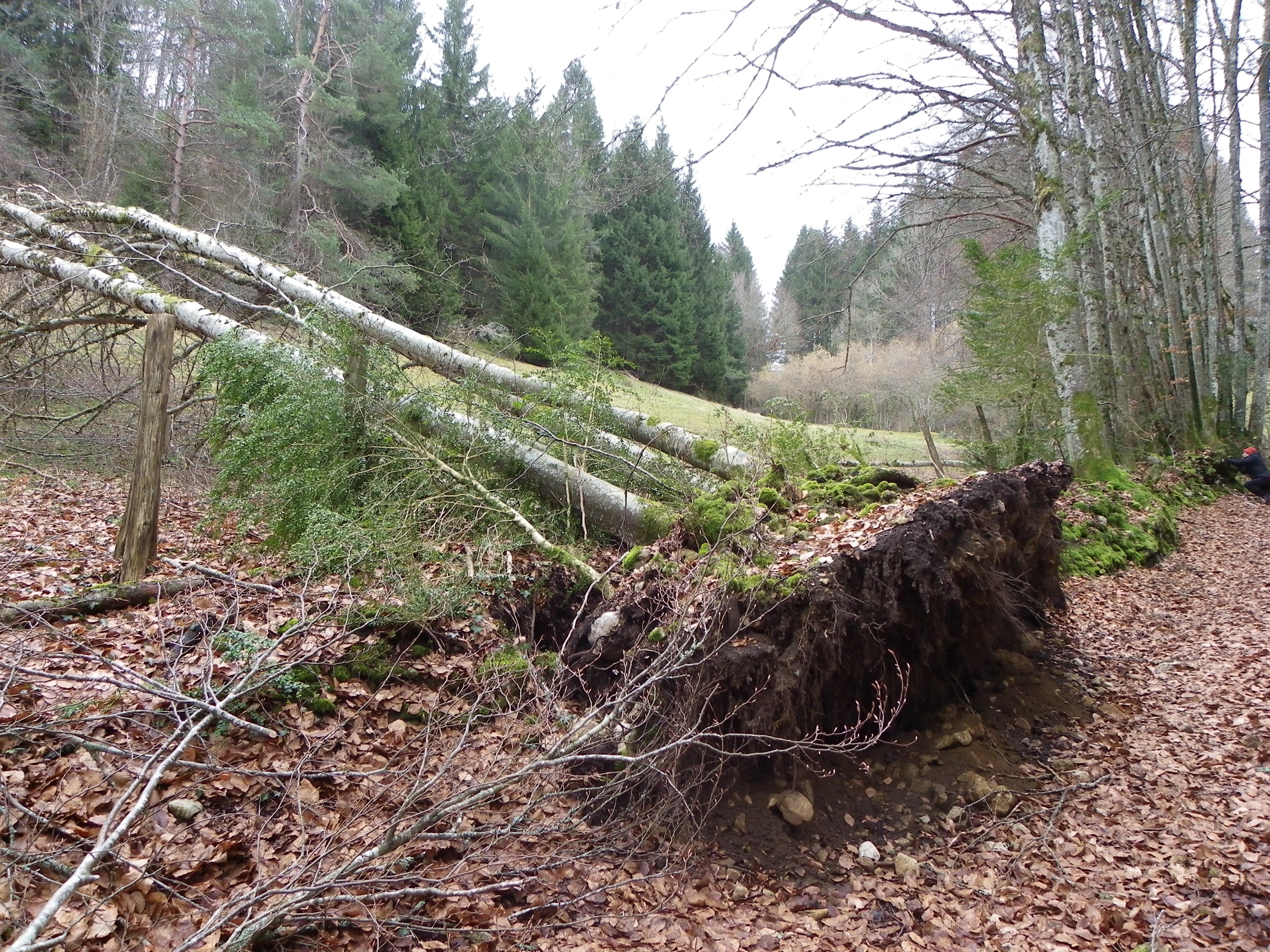 arbres désouchés dans la combe Freydière