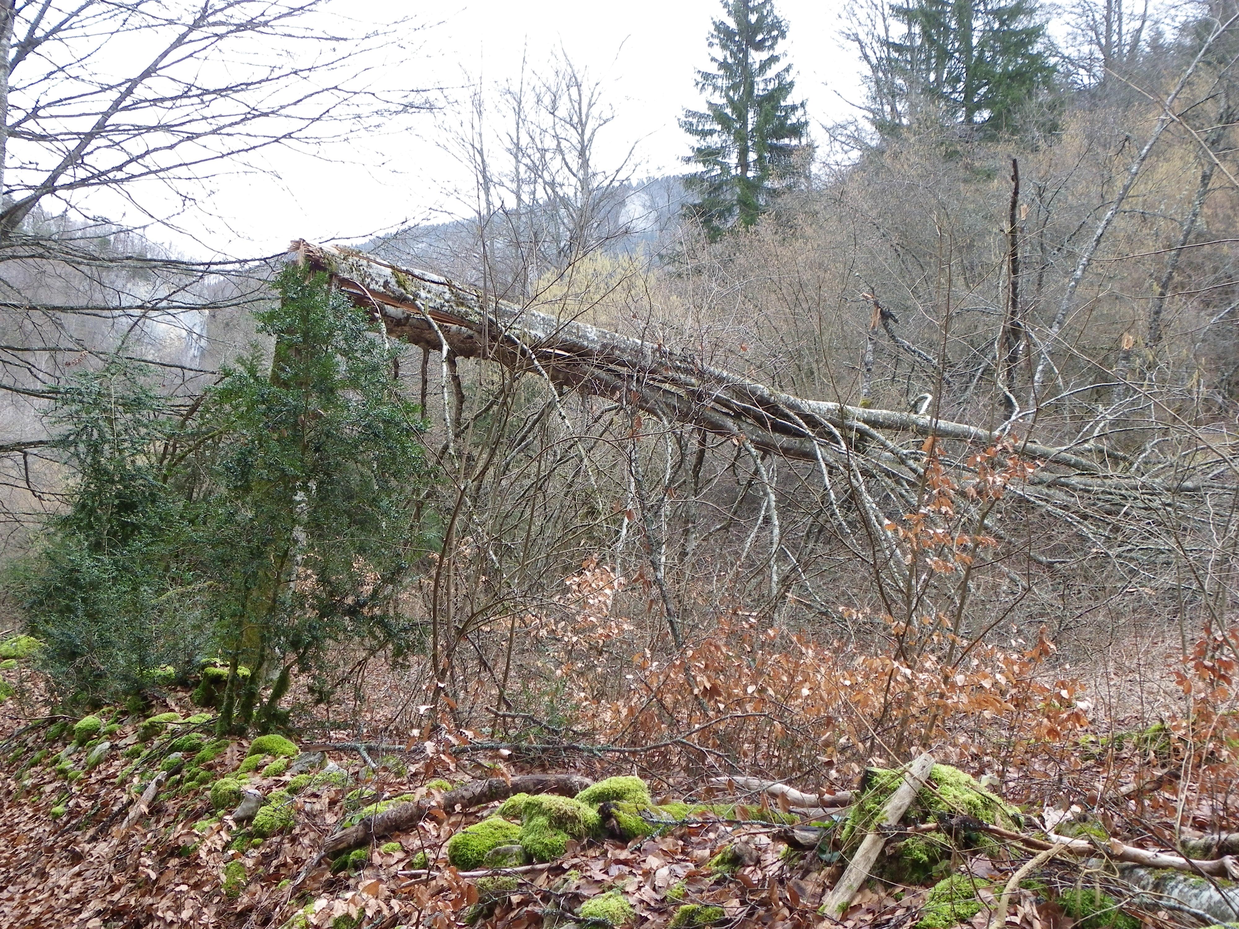 arbres fracassés dans la combe Freydière