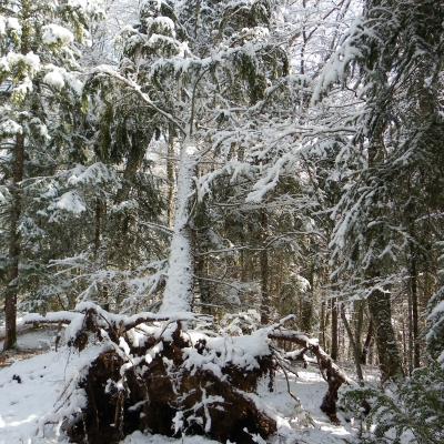 arbres désouchés vers les Chaberts