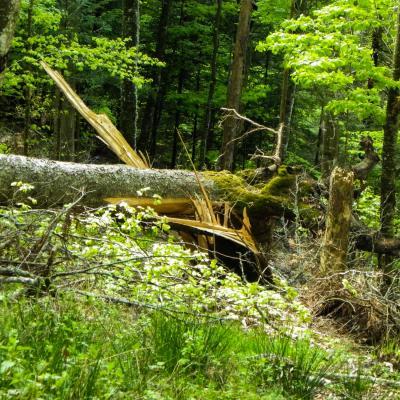 arbres fracassés dans le bois des scies