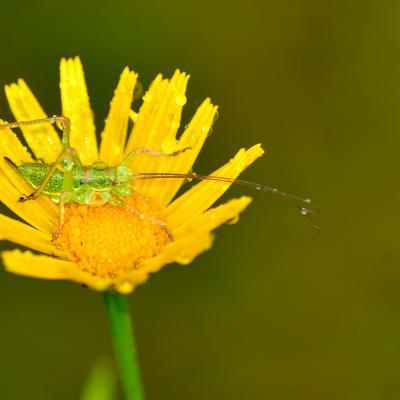 sauterelle sous la pluie