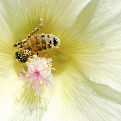 abeille sur rose trémière