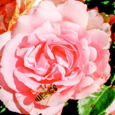 JLV abeille sur rose