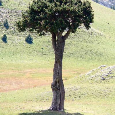 arbre queyrie