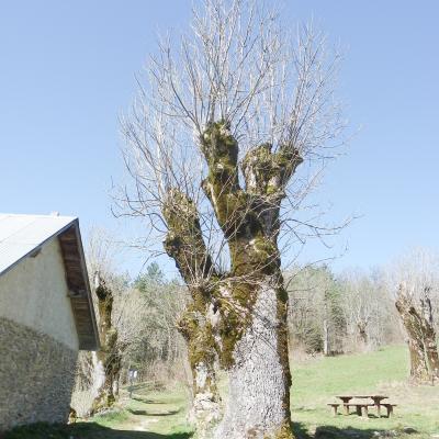 arbres goulandiere