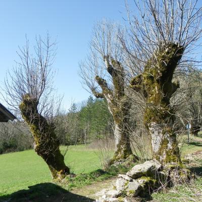 arbres goulandiere2