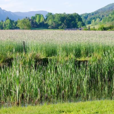 champ de céréales et étang