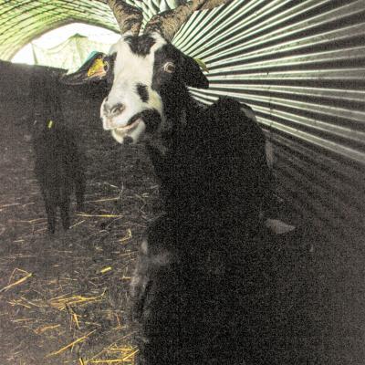 chèvre dans le tunnel