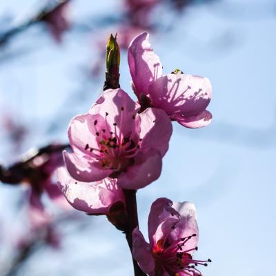 fleurs du pecher
