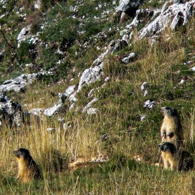 marmottes a d herbounouze